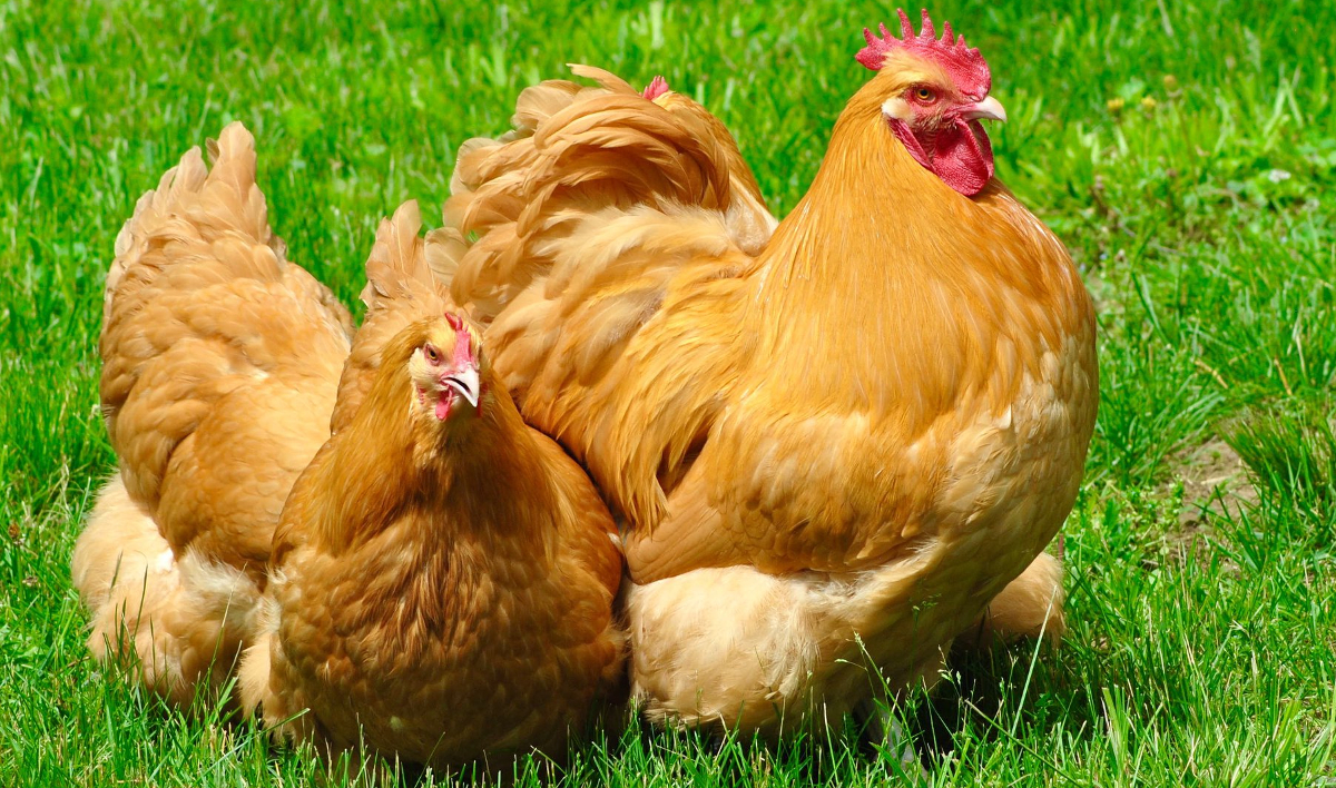 A trio of buff orpintons free ranging on grass